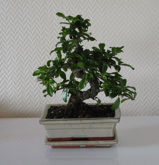 Bonzai træet efter beskæringen